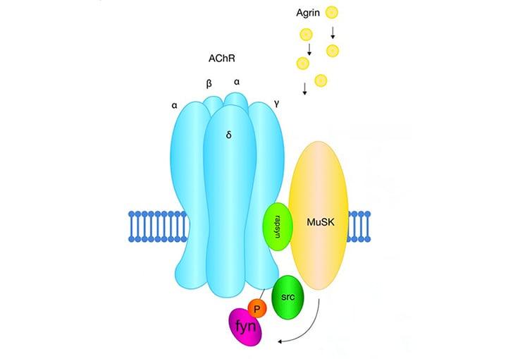 Agrin-induced clustering acetylcholine receptors MuSK