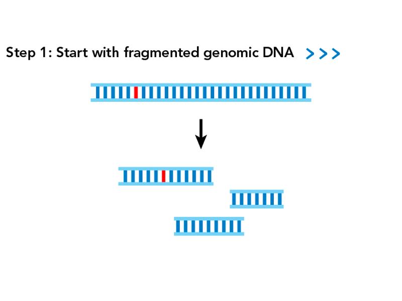 SPET DNA genomic fragments
