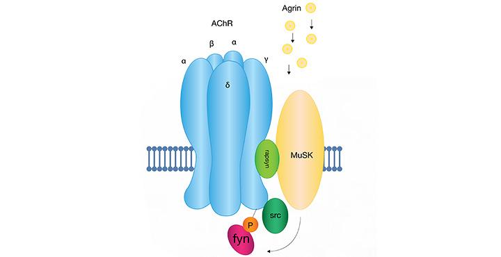 Agrin-induced clustering of acetylcholine receptors via MuSK